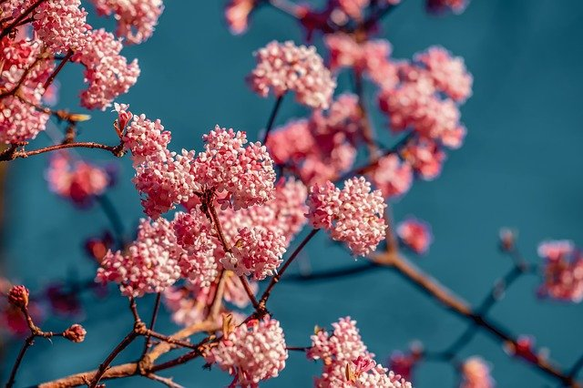 růžové kvítka